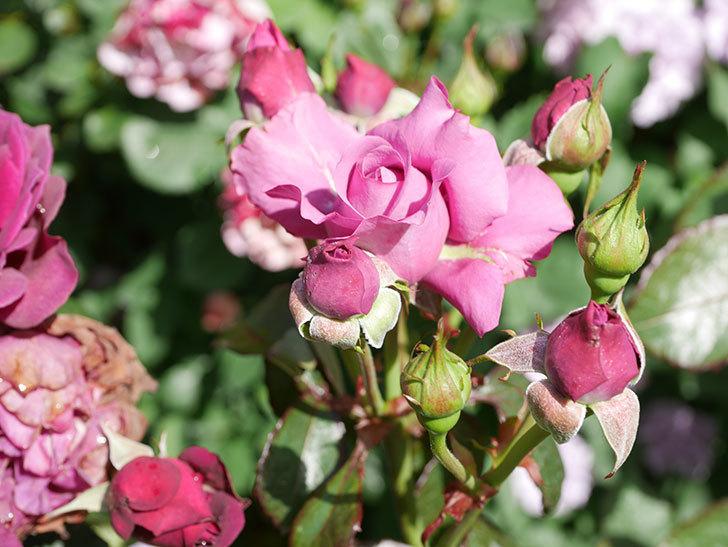 プラム・パーフェクト(Plum Perfect)の花がたくさん咲いた。木立バラ。2021年-025.jpg