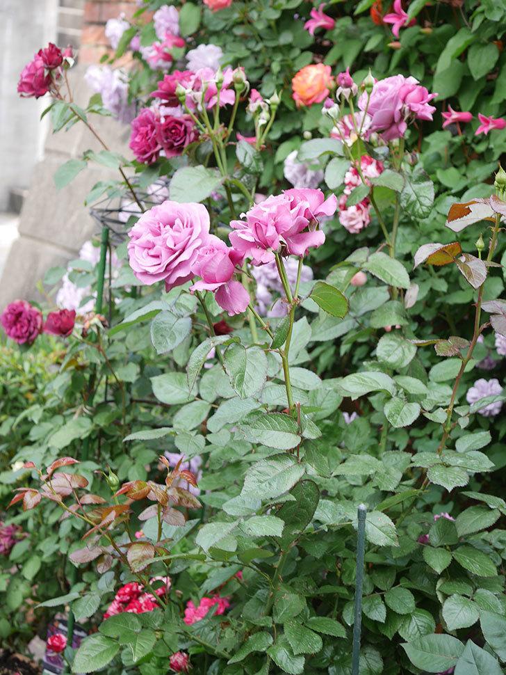 プラム・パーフェクト(Plum Perfect)の花がたくさん咲いた。木立バラ。2021年-026.jpg