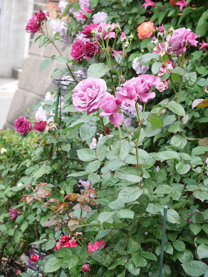 プラム・パーフェクト(Plum Perfect)の花がたくさん咲いた。木立バラ。2021年-027.jpg