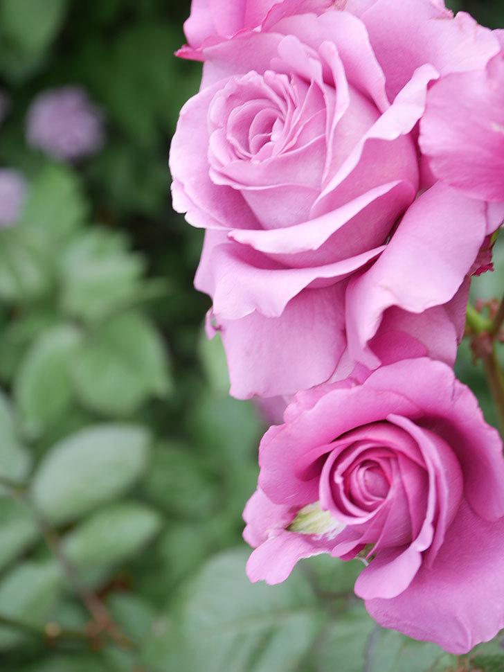 プラム・パーフェクト(Plum Perfect)の花がたくさん咲いた。木立バラ。2021年-029.jpg