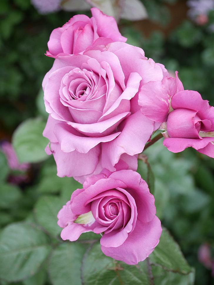 プラム・パーフェクト(Plum Perfect)の花がたくさん咲いた。木立バラ。2021年-031.jpg