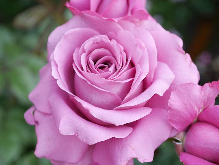 プラム・パーフェクト(Plum Perfect)の花がたくさん咲いた。木立バラ。2021年-033.jpg