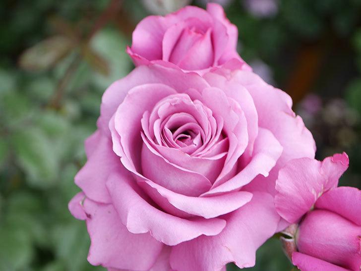 プラム・パーフェクト(Plum Perfect)の花がたくさん咲いた。木立バラ。2021年-034.jpg