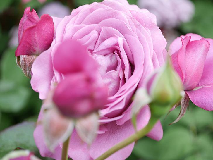 プラム・パーフェクト(Plum Perfect)の花がたくさん咲いた。木立バラ。2021年-037.jpg