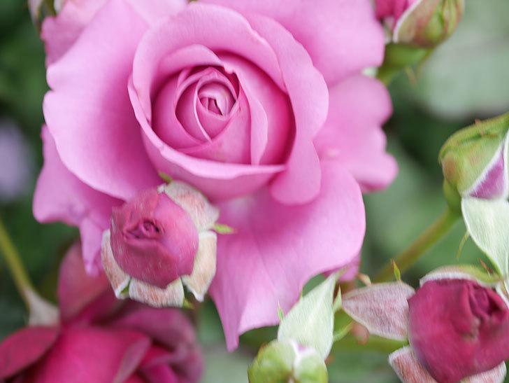 プラム・パーフェクト(Plum Perfect)の花がたくさん咲いた。木立バラ。2021年-038.jpg