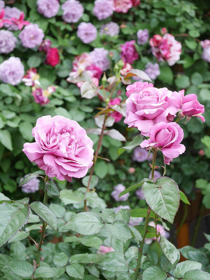 プラム・パーフェクト(Plum Perfect)の花がたくさん咲いた。木立バラ。2021年-039.jpg