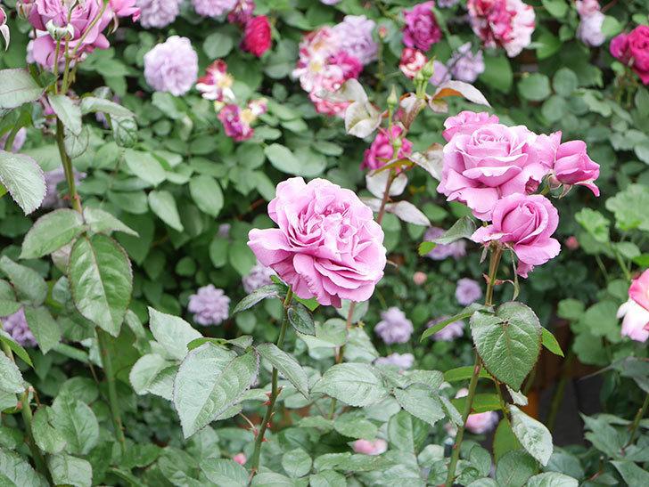 プラム・パーフェクト(Plum Perfect)の花がたくさん咲いた。木立バラ。2021年-041.jpg