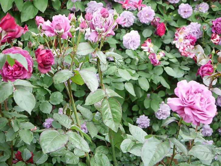 プラム・パーフェクト(Plum Perfect)の花がたくさん咲いた。木立バラ。2021年-042.jpg
