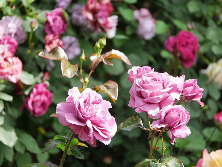 プラム・パーフェクト(Plum Perfect)の花がたくさん咲いた。木立バラ。2021年-043.jpg