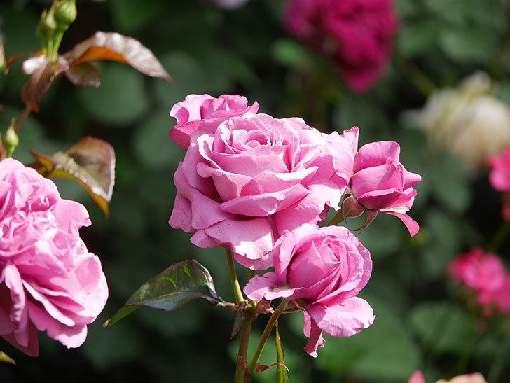 プラム・パーフェクト(Plum Perfect)の花がたくさん咲いた。木立バラ。2021年-044.jpg