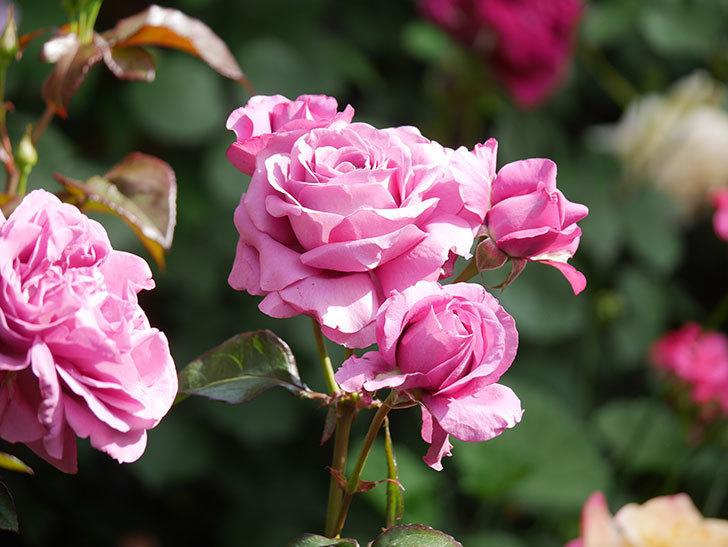 プラム・パーフェクト(Plum Perfect)の花がたくさん咲いた。木立バラ。2021年-045.jpg