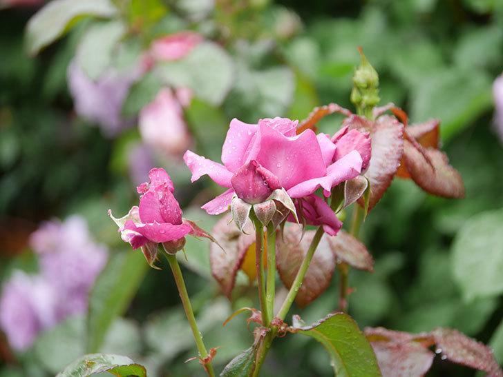 プラム・パーフェクト(Plum Perfect)の花が咲いた。木立バラ。2021年-001.jpg