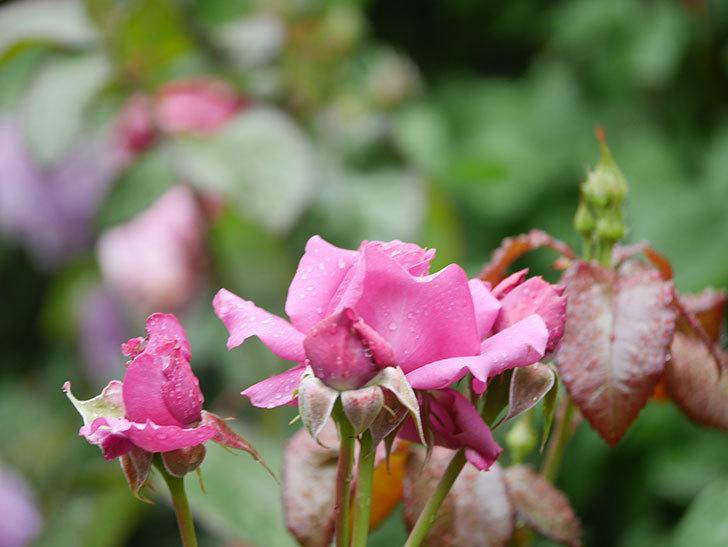 プラム・パーフェクト(Plum Perfect)の花が咲いた。木立バラ。2021年-002.jpg