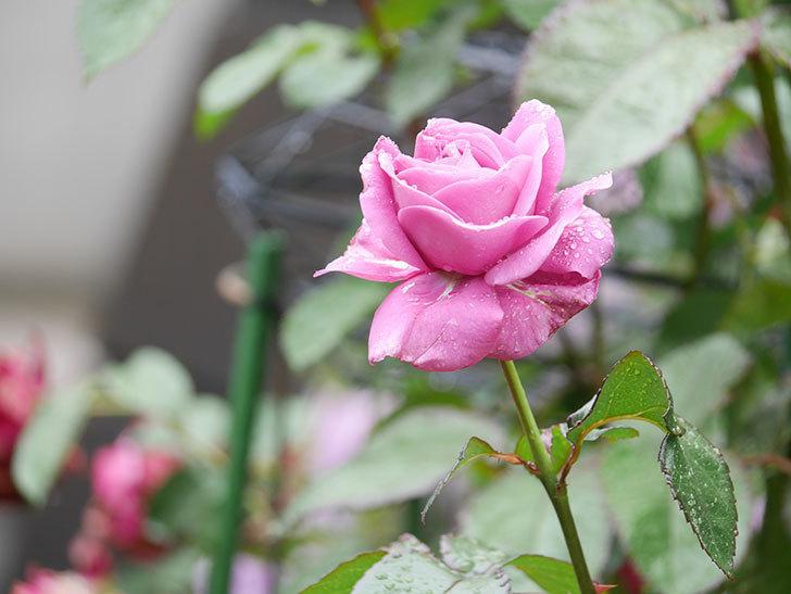 プラム・パーフェクト(Plum Perfect)の花が咲いた。木立バラ。2021年-003.jpg