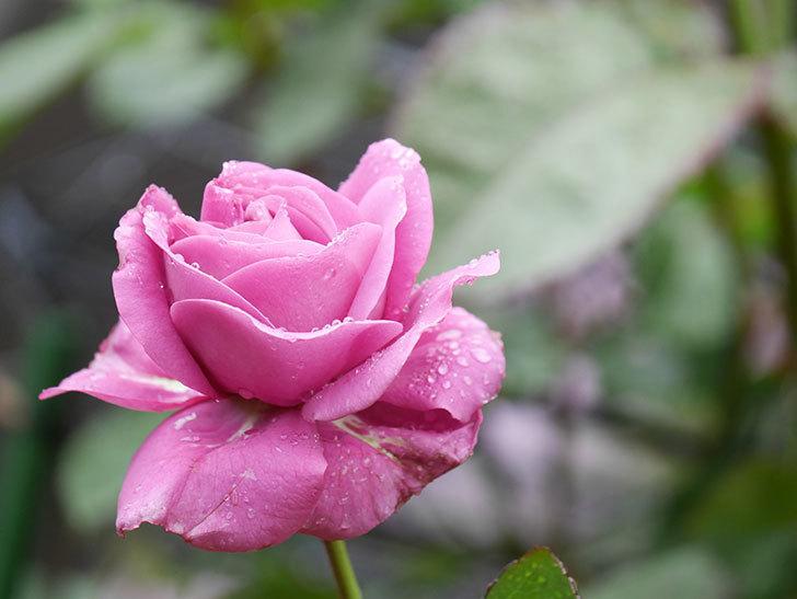プラム・パーフェクト(Plum Perfect)の花が咲いた。木立バラ。2021年-004.jpg