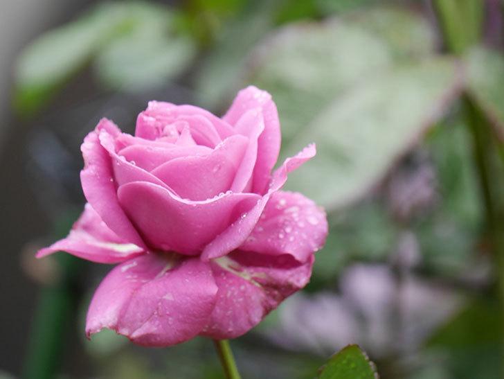 プラム・パーフェクト(Plum Perfect)の花が咲いた。木立バラ。2021年-005.jpg