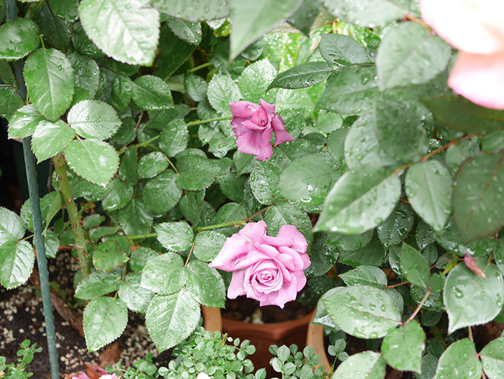プラム・パーフェクト(Plum Perfect)の花が咲いた。木立バラ。2021年-006.jpg