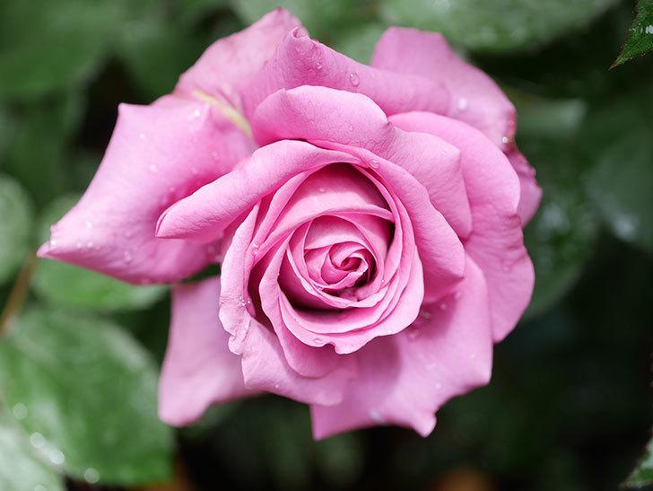 プラム・パーフェクト(Plum Perfect)の花が咲いた。木立バラ。2021年-007.jpg