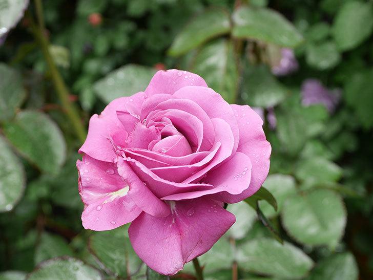 プラム・パーフェクト(Plum Perfect)の花が咲いた。木立バラ。2021年-009.jpg