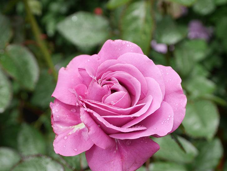プラム・パーフェクト(Plum Perfect)の花が咲いた。木立バラ。2021年-010.jpg
