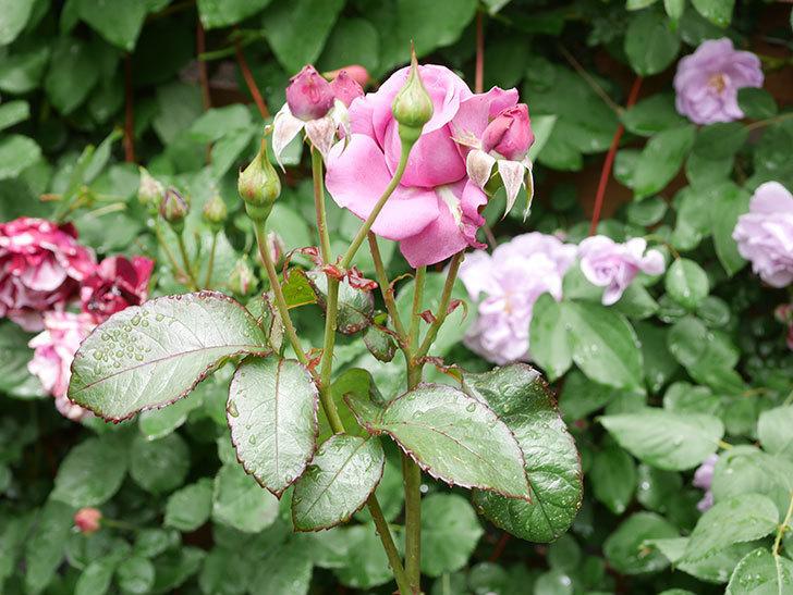プラム・パーフェクト(Plum Perfect)の花が咲いた。木立バラ。2021年-012.jpg