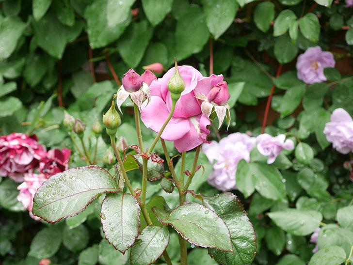 プラム・パーフェクト(Plum Perfect)の花が咲いた。木立バラ。2021年-013.jpg