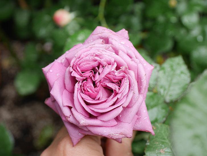 プラム・パーフェクト(Plum Perfect)の花が咲いた。木立バラ。2021年-016.jpg