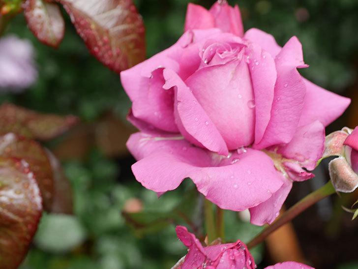 プラム・パーフェクト(Plum Perfect)の花が咲いた。木立バラ。2021年-017.jpg