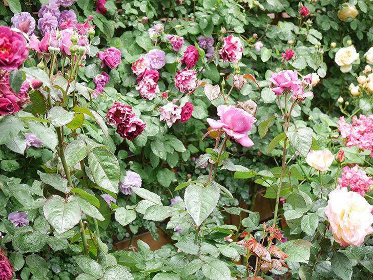 プラム・パーフェクト(Plum Perfect)の花が咲いた。木立バラ。2021年-018.jpg