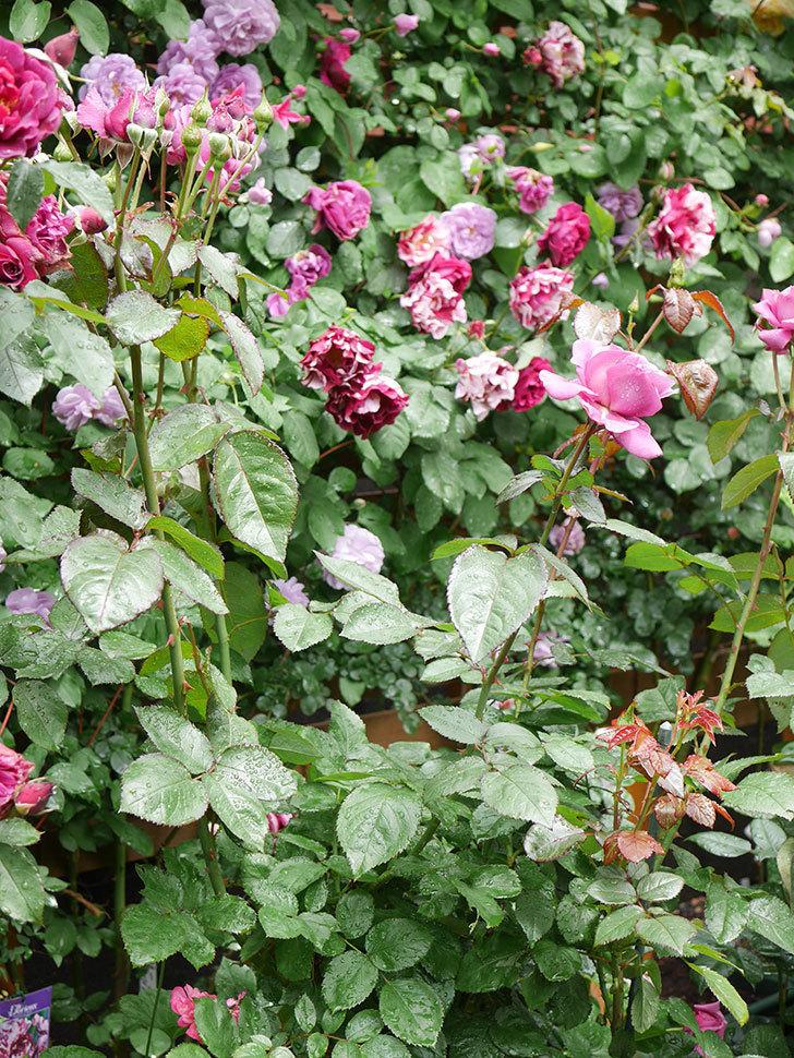 プラム・パーフェクト(Plum Perfect)の花が咲いた。木立バラ。2021年-019.jpg