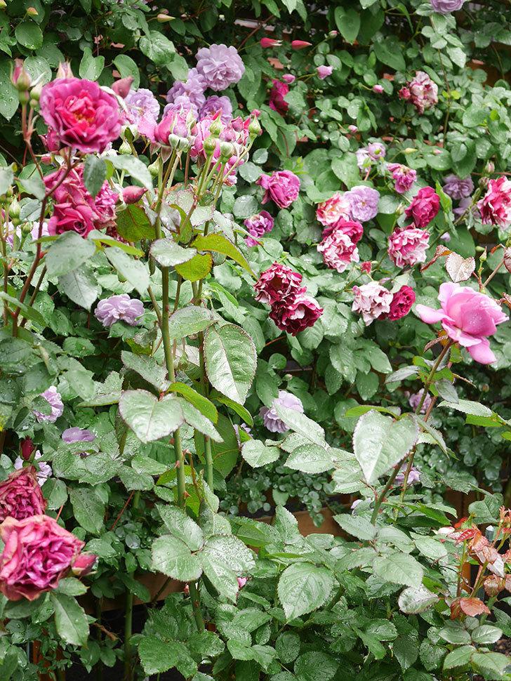 プラム・パーフェクト(Plum Perfect)の花が咲いた。木立バラ。2021年-020.jpg