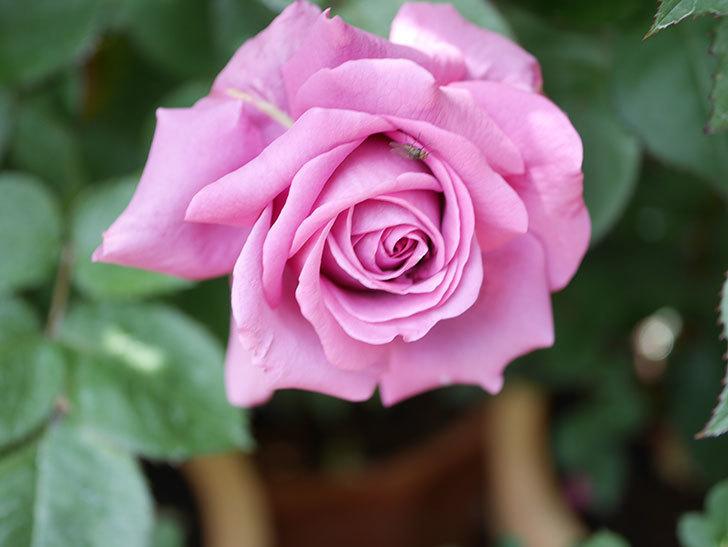 プラム・パーフェクト(Plum Perfect)の花が咲いた。木立バラ。2021年-021.jpg