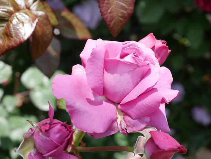プラム・パーフェクト(Plum Perfect)の花が咲いた。木立バラ。2021年-023.jpg