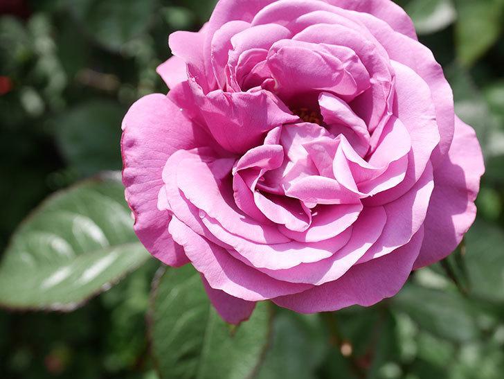 プラム・パーフェクト(Plum Perfect)の花が咲いた。木立バラ。2021年-024.jpg
