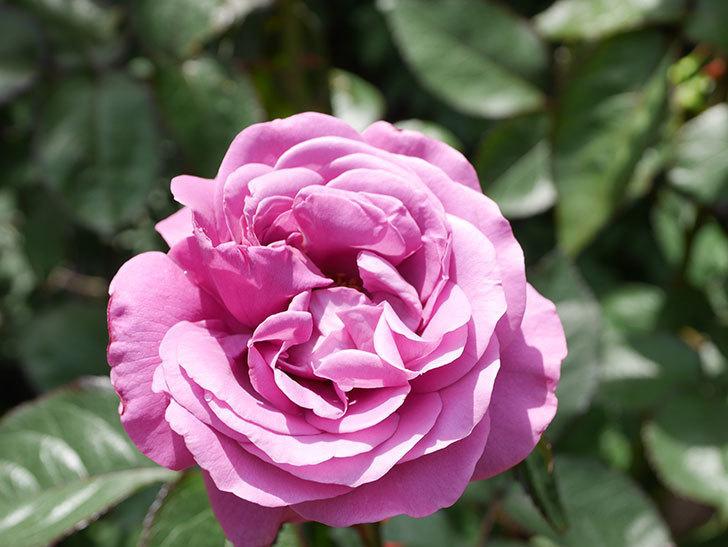 プラム・パーフェクト(Plum Perfect)の花が咲いた。木立バラ。2021年-025.jpg