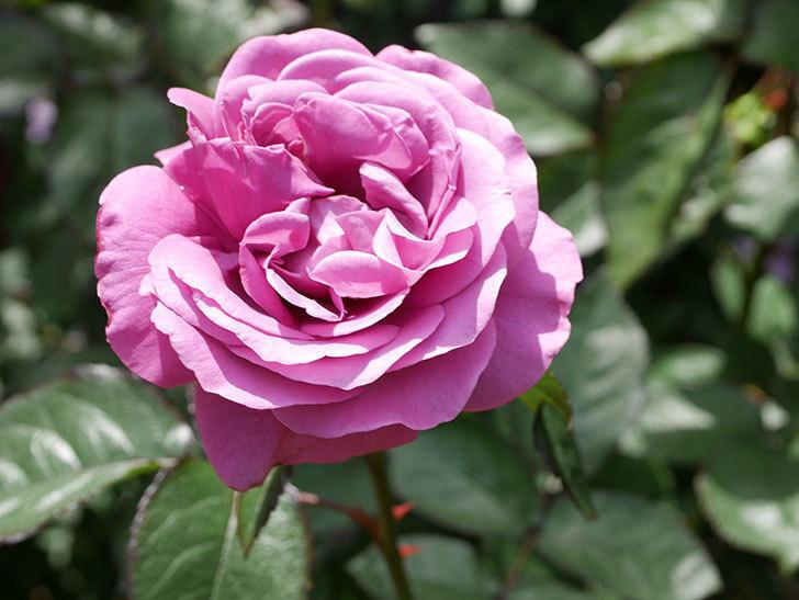プラム・パーフェクト(Plum Perfect)の花が咲いた。木立バラ。2021年-026.jpg