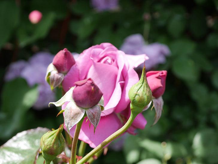 プラム・パーフェクト(Plum Perfect)の花が咲いた。木立バラ。2021年-027.jpg