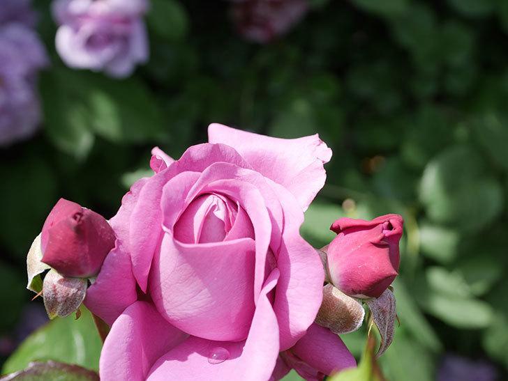 プラム・パーフェクト(Plum Perfect)の花が咲いた。木立バラ。2021年-028.jpg
