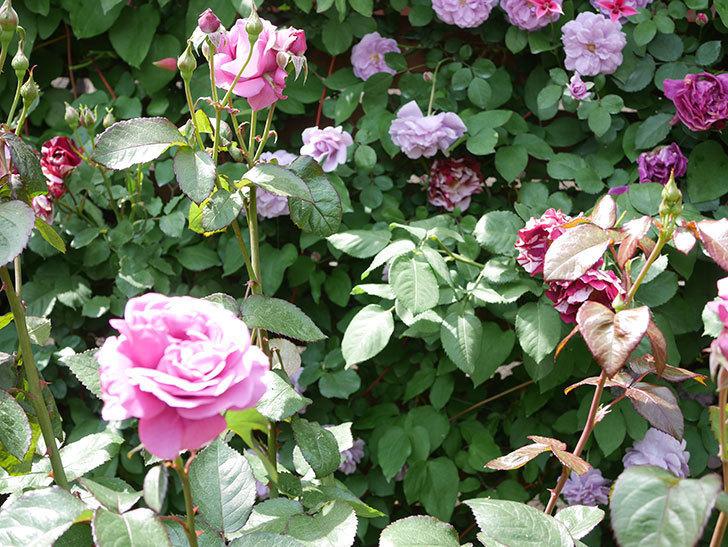 プラム・パーフェクト(Plum Perfect)の花が咲いた。木立バラ。2021年-029.jpg