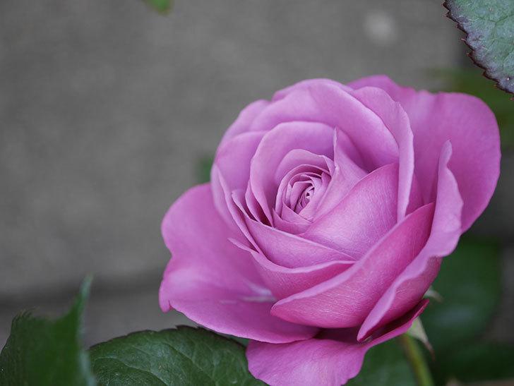 プラム・パーフェクト(木立バラ)に2個目の花が咲いた。2020年-1.jpg