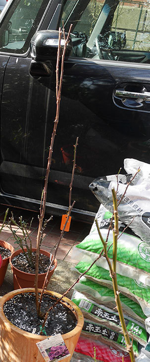 プラム・パーフェクト(木立バラ)の冬剪定をした。2020年-2.jpg
