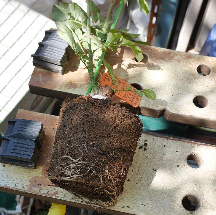 プラム・パーフェクト(木立バラ)の新苗を6号ロングスリット鉢に植え替えた。2019年-1.jpg