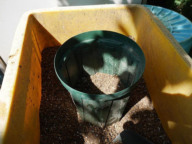 プラム・パーフェクト(木立バラ)の新苗を6号ロングスリット鉢に植え替えた。2019年-3.jpg