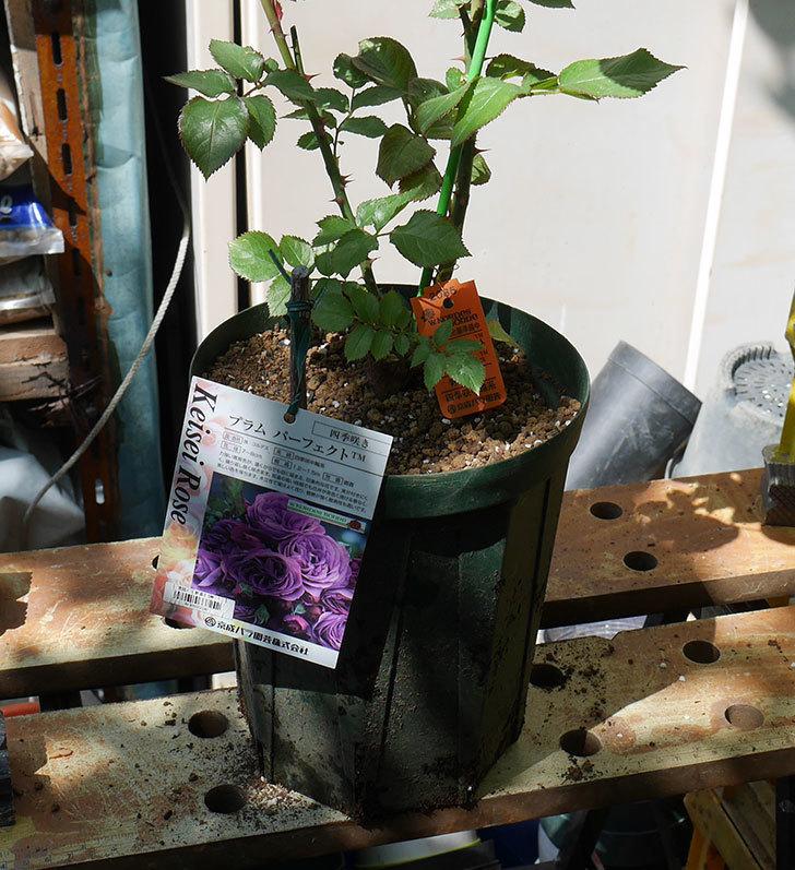プラム・パーフェクト(木立バラ)の新苗を6号ロングスリット鉢に植え替えた。2019年-5.jpg