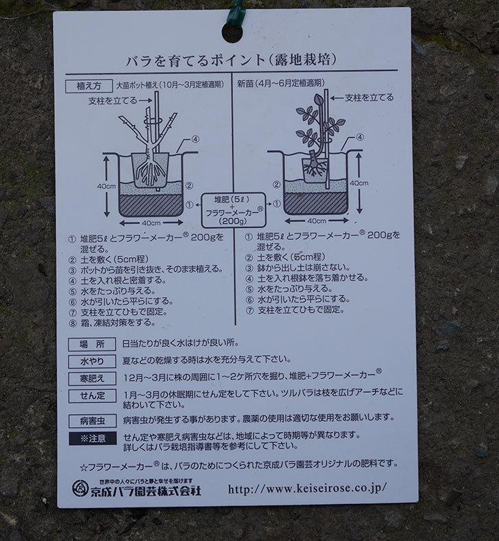 プラム・パーフェクト(木立バラ)の新苗をコーナンで買って来た。2019年-10.jpg