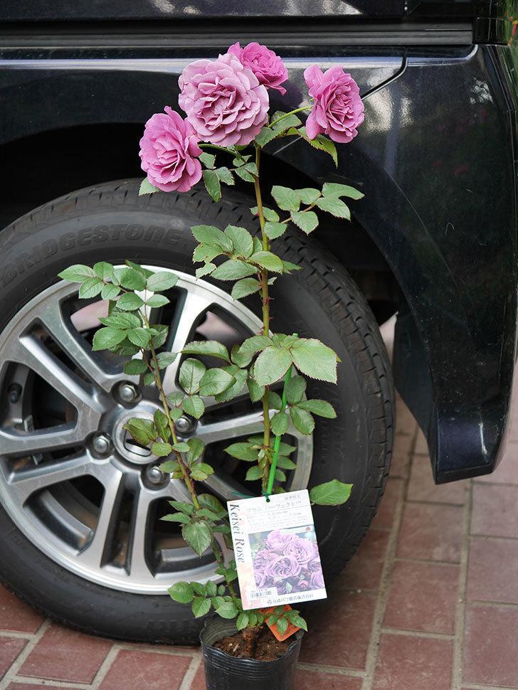 プラム・パーフェクト(木立バラ)の新苗をコーナンで買って来た。2019年-2.jpg