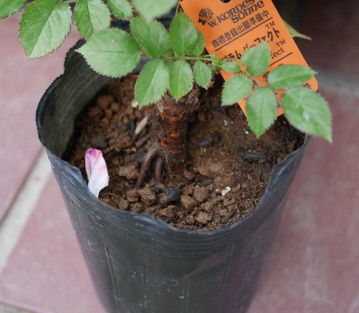 プラム・パーフェクト(木立バラ)の新苗をコーナンで買って来た。2019年-8.jpg