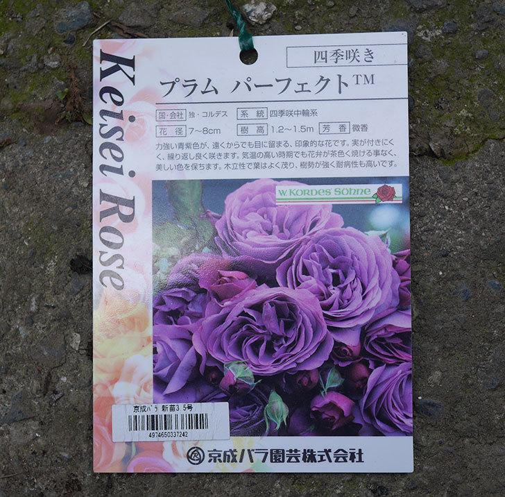 プラム・パーフェクト(木立バラ)の新苗をコーナンで買って来た。2019年-9.jpg