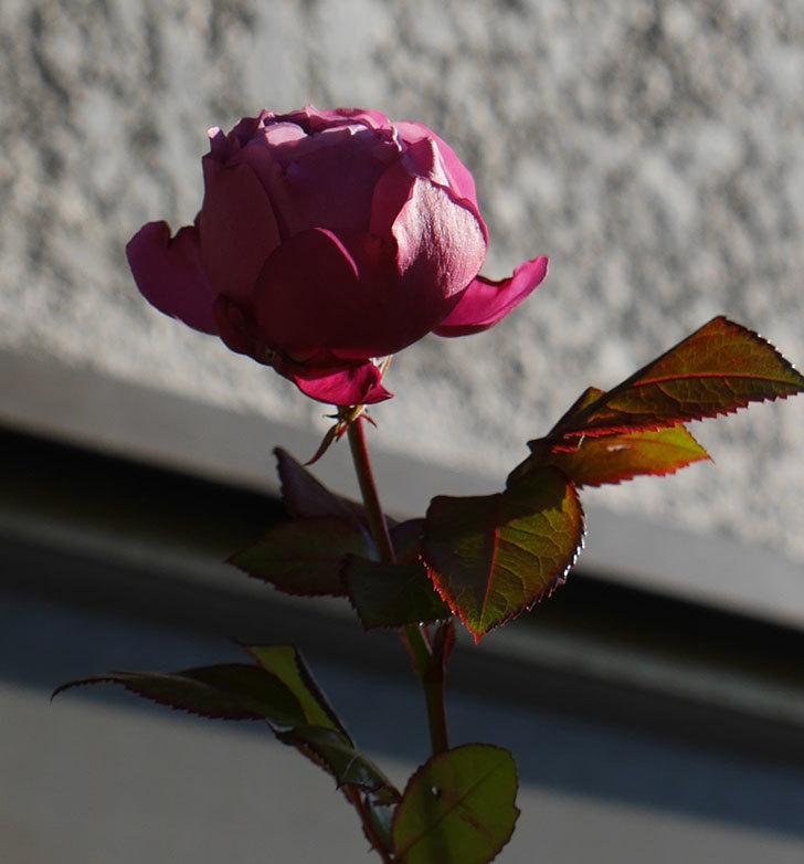 プラム・パーフェクト(木立バラ)の花がまだ咲いている。2020年-7.jpg