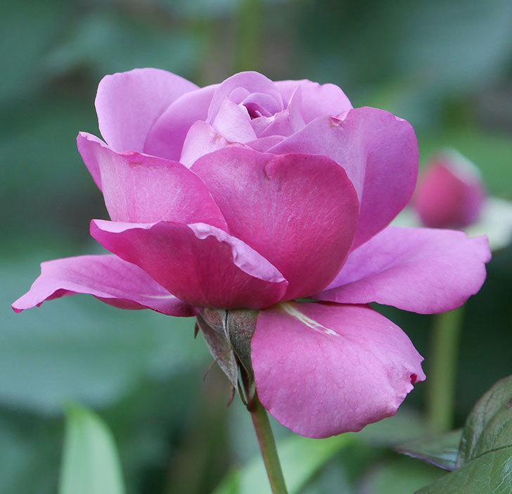 プラム・パーフェクト(木立バラ)の花が咲いた。2020年-10.jpg